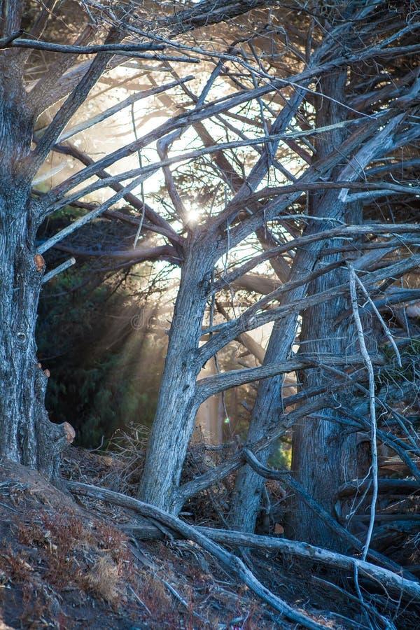 Kalifornien Stillahavskustenträd arkivbild