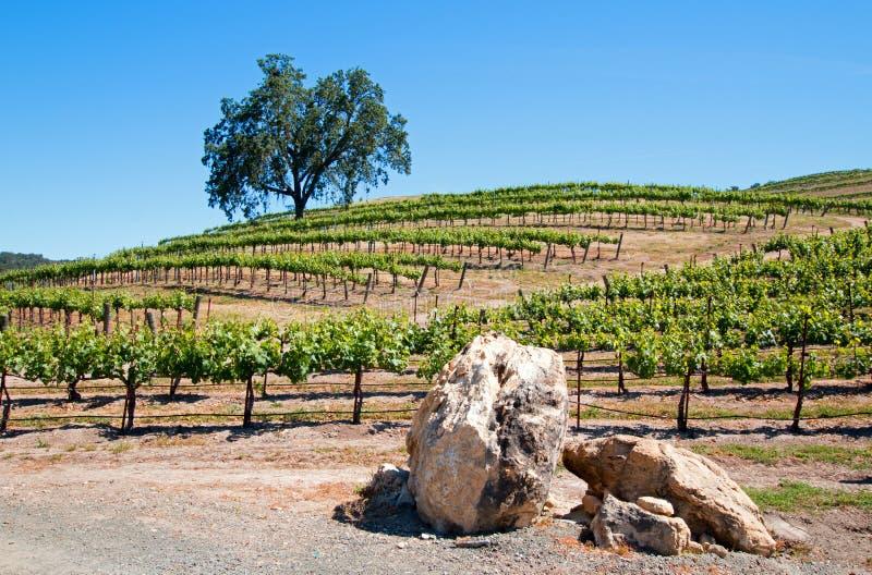 Kalifornien-Taleichen- und -kalksteinflusssteine im Weinberg in Weinberg Paso Robles im Central Valley von Kalifornien USA lizenzfreies stockfoto