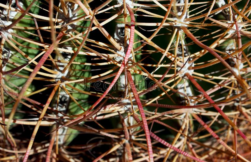 Kalifornien trummakaktus, Anza Borrego ökendelstatspark arkivfoton