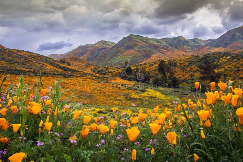 Kalifornien vallmo i blom arkivbild