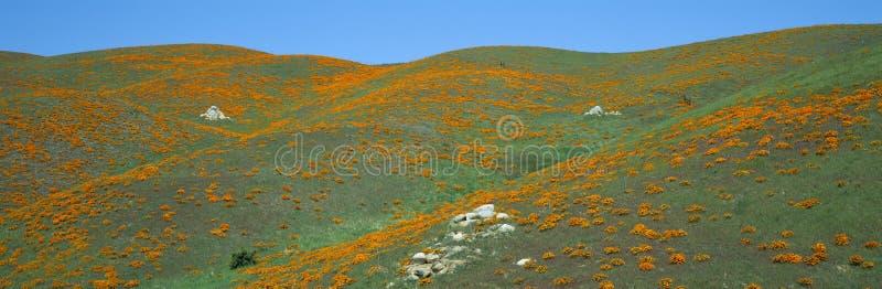 Kalifornien vallmo, vårvildblommor, antilopdal, Kalifornien arkivbilder