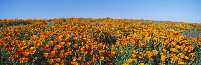 Kalifornien vallmor royaltyfri bild