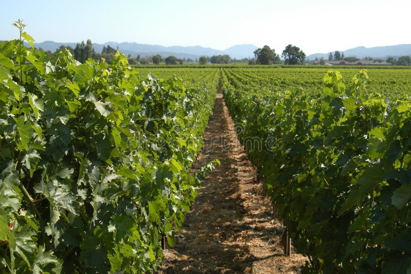Kalifornien vingård arkivbild