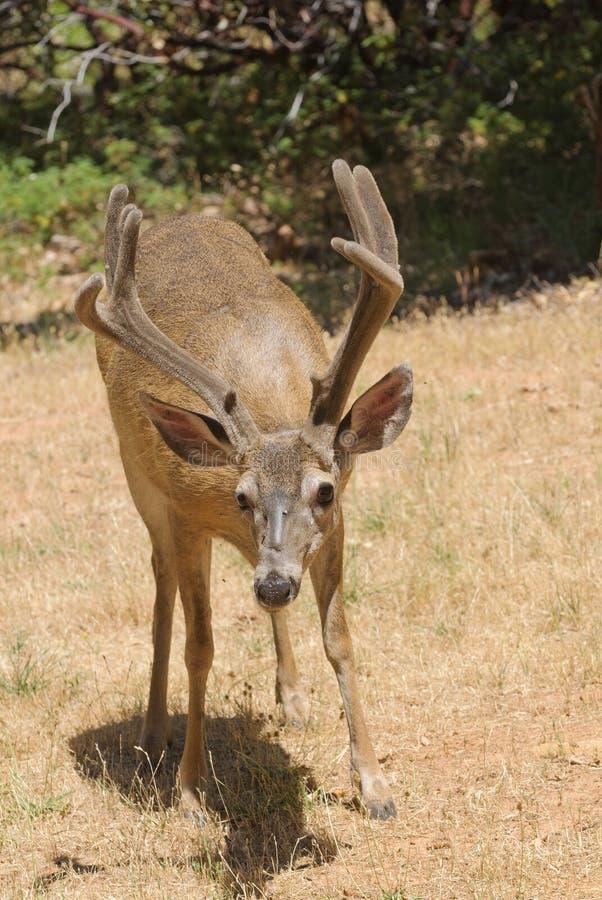 Kalifornier Svart-tailed bock royaltyfria bilder
