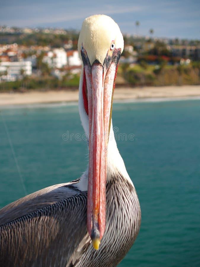 kalifornijskie pelikan zdjęcie stock