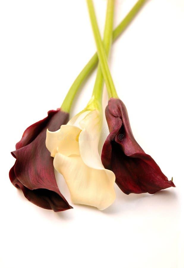 kalii piękni lillies fotografia royalty free