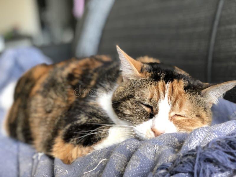 Kalikå Cat Sleeping royaltyfri bild