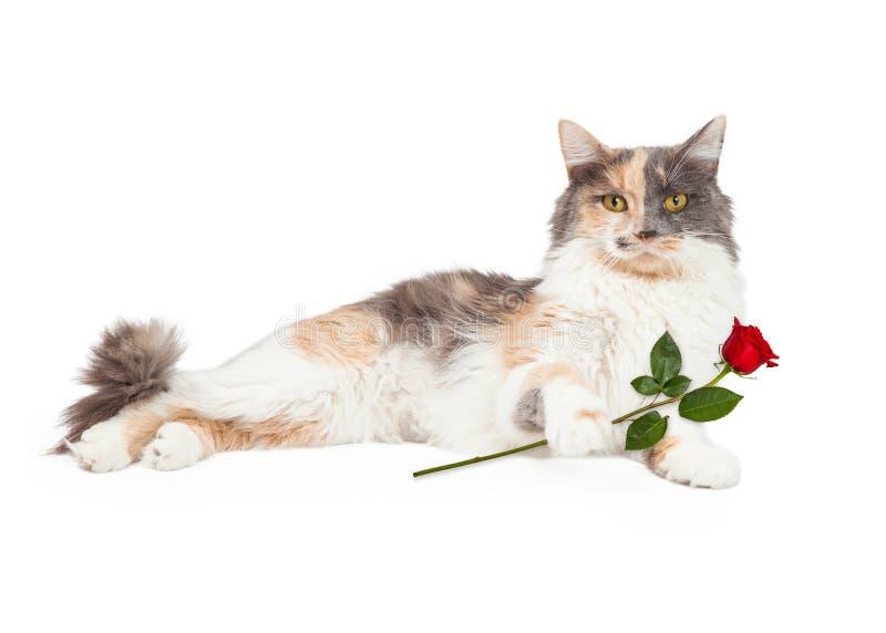 Kaliko Cat Holding Red Rose lizenzfreies stockbild