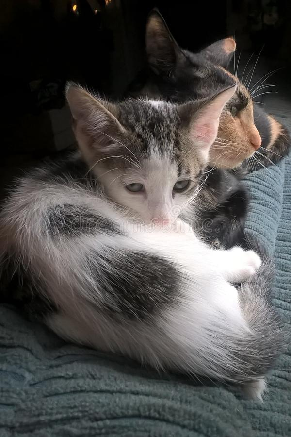 Kaliko Cat And Kitten stockfotografie