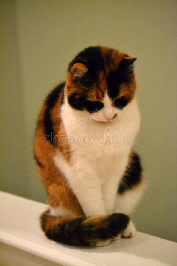 Kaliko Cat Sits auf einer Leiste stockfotografie
