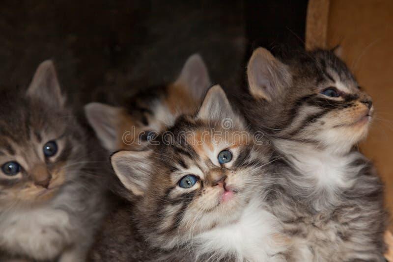 Kaliko-Kätzchen stockbilder