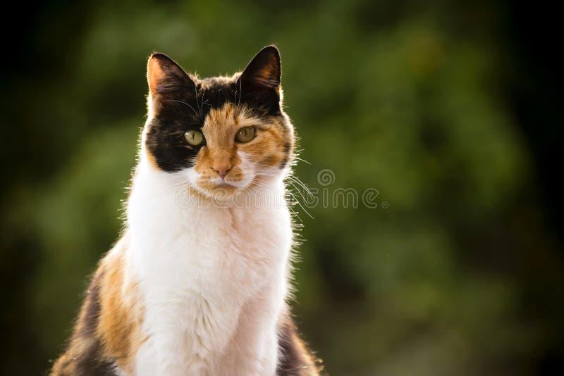 Kaliko-Katze lizenzfreies stockbild