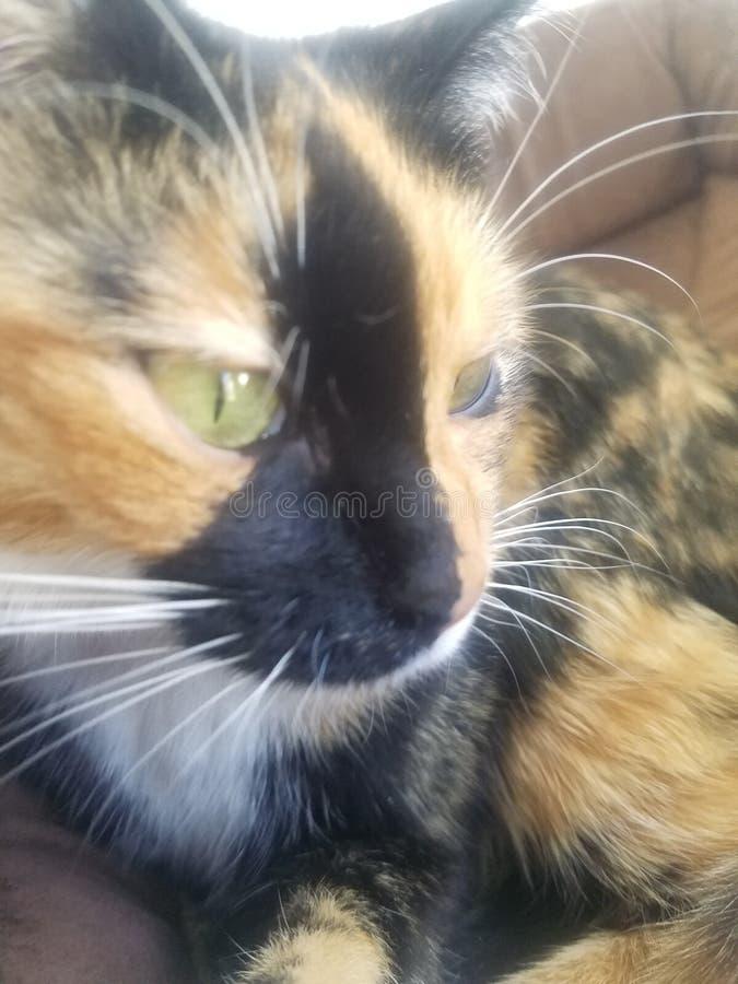 Kaliko-Katze stockfotos