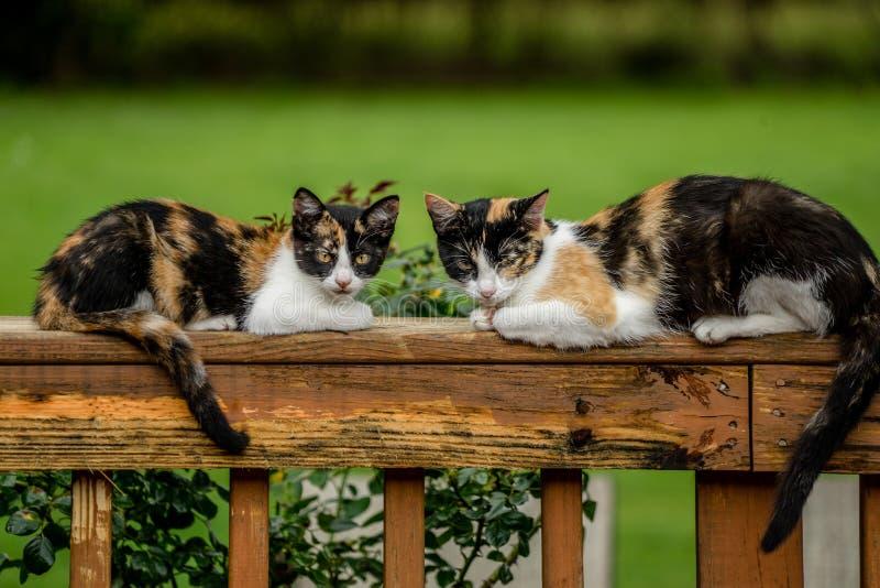 Kaliko-Katzen lizenzfreies stockfoto