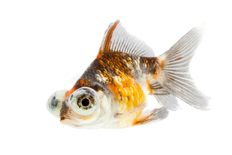 Kalikoc$teleskop-augen Goldfisch, Goldfisch lokalisiert auf weißem Hintergrund stockbilder