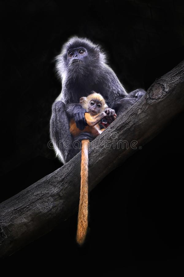 Kalimantan Silver Langur and her baby stock photo