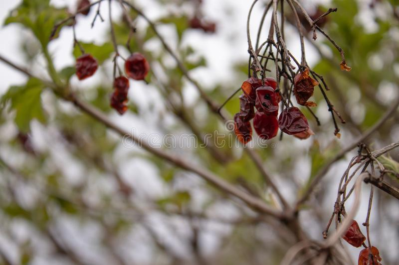 Kalina dry and sluggish on the branch. Close-up royalty free stock photo