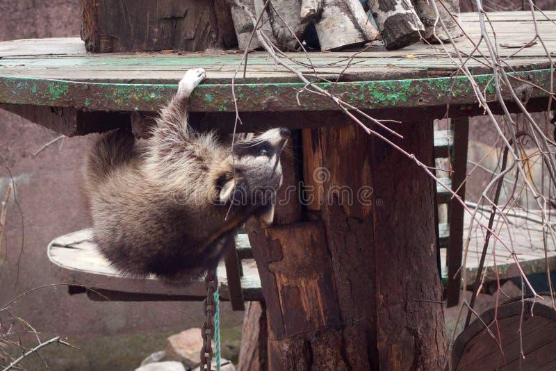 KALININGRAD, ΡΩΣΙΑ - 29 ΜΑΡΤΊΟΥ 2014: Το αστείο παχύ lotor Procyon ρακούν αναρριχείται σε μια ξύλινη κατασκευή στοκ φωτογραφία