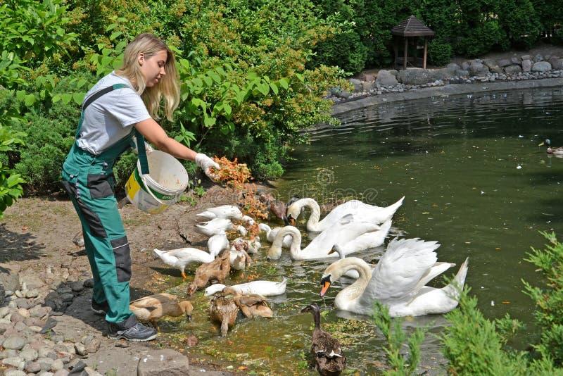Kaliningrad, R?ssia O trabalhador de umas aves aquáticas das alimentações do jardim zoológico fotos de stock