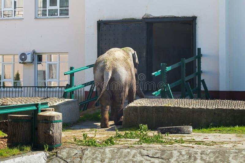 KALININGRAD RYSSLAND - MAJ 21, 2016: Den indiska elefanten i den Kaliningrad zoo är går till elefanthuset fotografering för bildbyråer