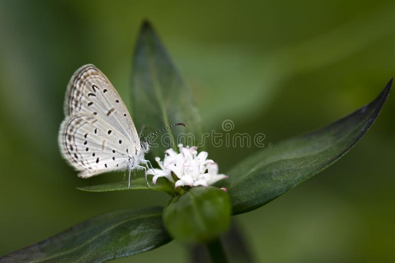 Kalk Blauwe Vlinder op een wilde bloem in Sri Lanka stock afbeelding