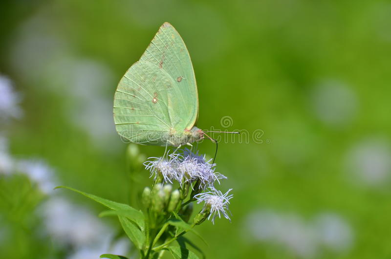 Kalk gekleurde vlinder royalty-vrije stock fotografie
