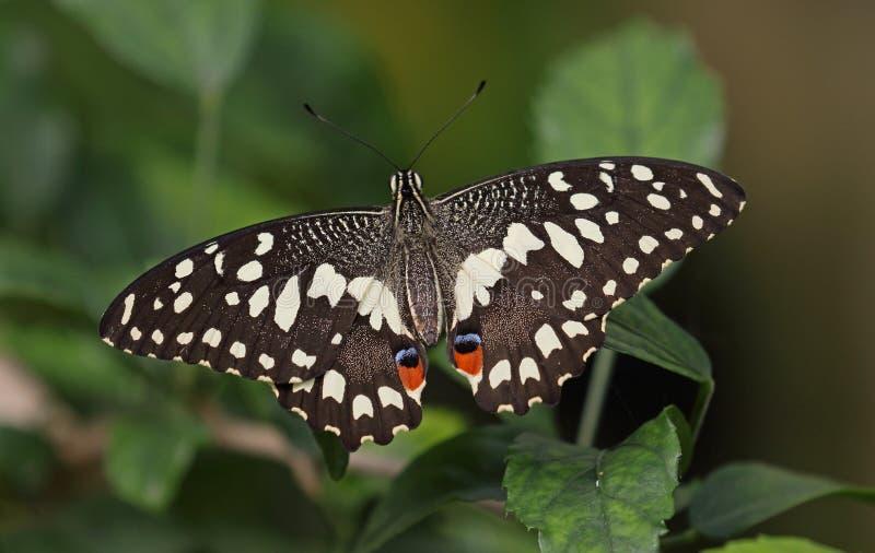 Kalk Swallowtail royalty-vrije stock foto's