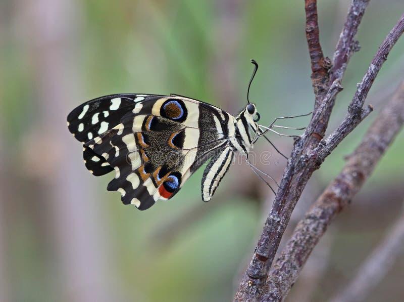 Kalk Swallowtail royalty-vrije stock afbeelding
