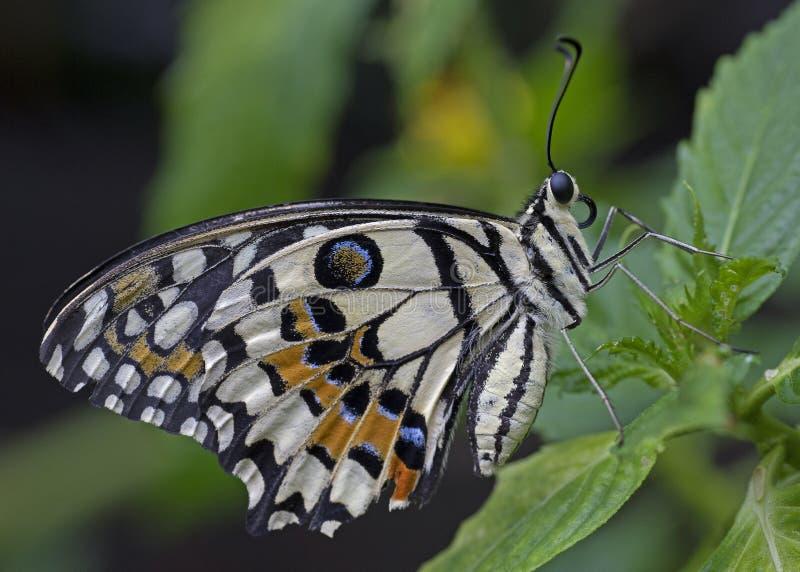 Kalka den Swallowtail fjärilen som vilar på en blomma royaltyfri fotografi