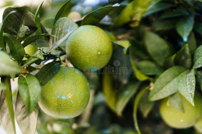 Kalkfrucht auf der Niederlassung lizenzfreies stockfoto
