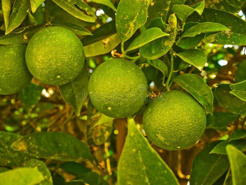 Kalkfruit op een boom royalty-vrije stock foto