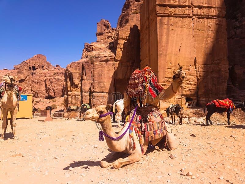Kalkoenen en kamelen met een rustbed en hun dieren Vervoer in Petra, Jordanië Excursie in de oude stad Petra royalty-vrije stock afbeelding