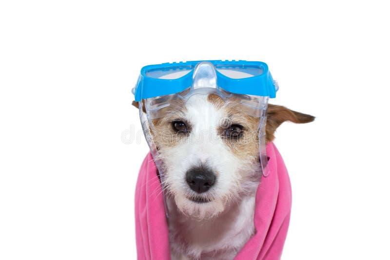 kall hund JACK RUSSELL VALP MED SKYDDSGLASÖGON OCH EN ROSA HANDDUK ISOLERAT SKOTT MOT VIT BAKGRUND arkivbild