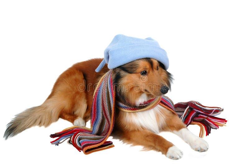 kall hund som är känslig till arkivfoton