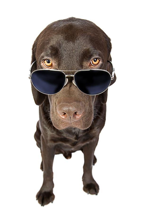 kall labrador solglasögon royaltyfri fotografi