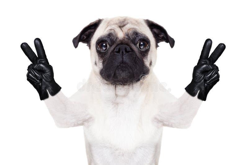 Kall mopshund fotografering för bildbyråer