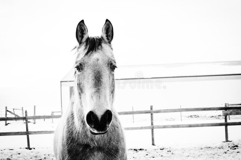Kall ponny fotografering för bildbyråer