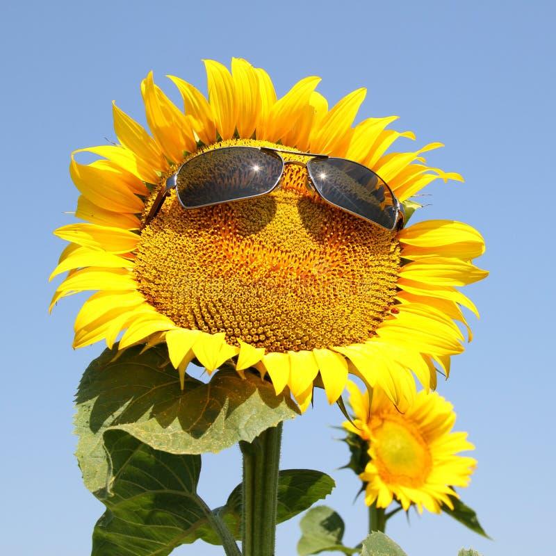 Kall solros fotografering för bildbyråer
