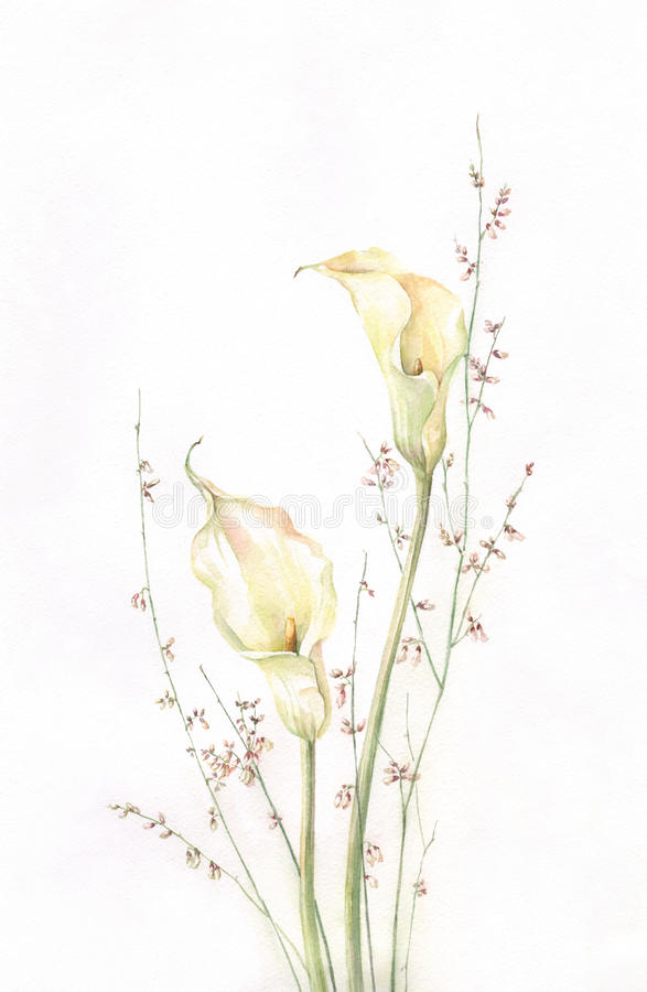 Kalla watercolor painting royalty free illustration