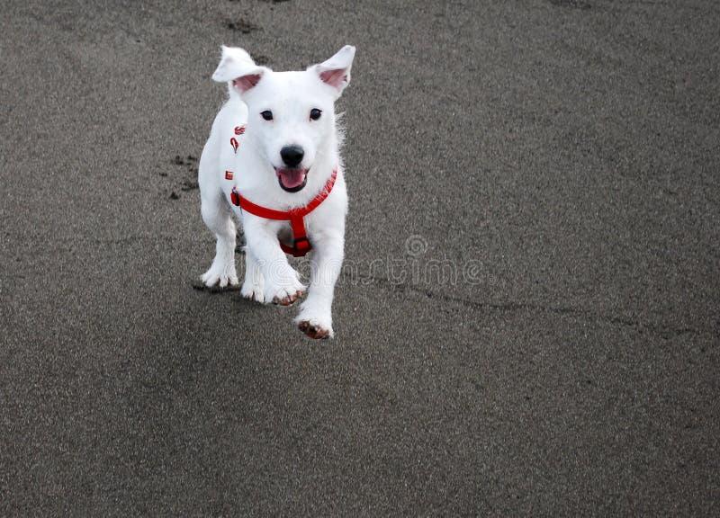 kallad kommande hund royaltyfri bild