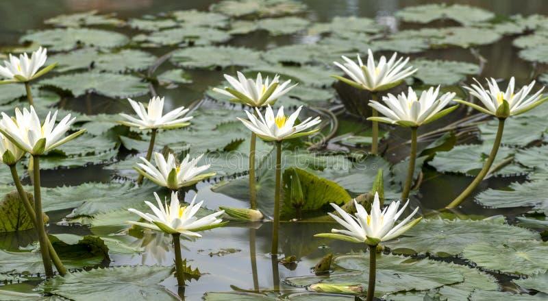 Kallade vita Nymphaeaalbum för älskvärda blommor, gemensamt näckrons bland gröna sidor och blått vatten arkivfoton