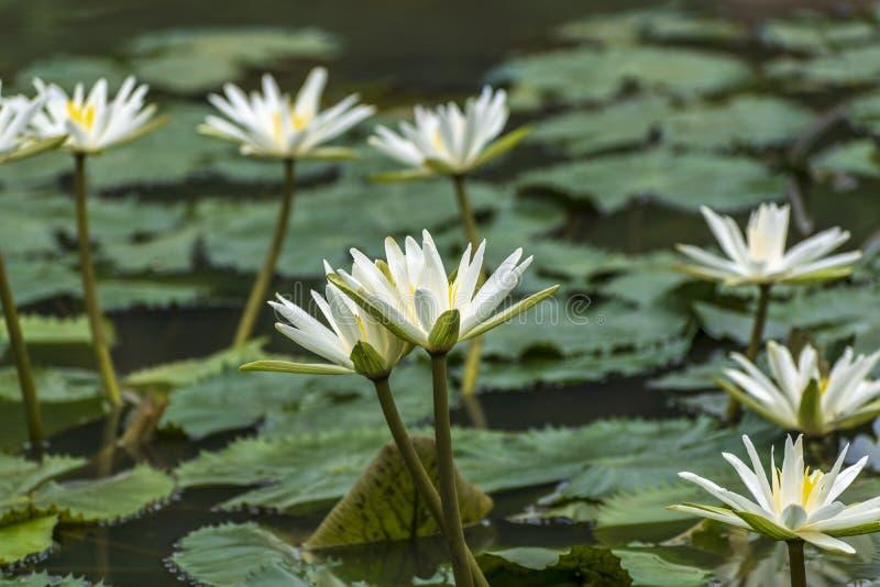 Kallade vita Nymphaeaalbum för älskvärda blommor, gemensamt näckrons bland gröna sidor och blått vatten royaltyfri fotografi