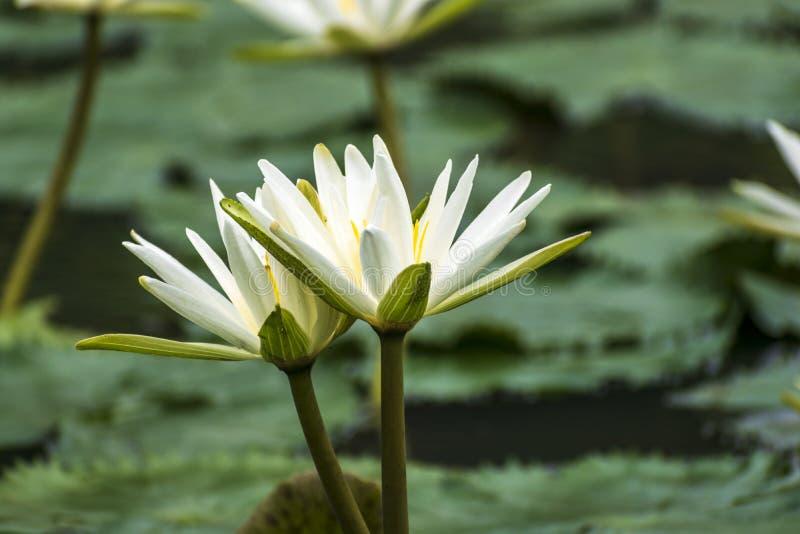 Kallade vita Nymphaeaalbum för älskvärda blommor, gemensamt näckrons bland gröna sidor och blått vatten arkivfoto