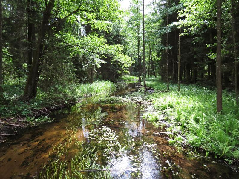 Kalm Forest Stream River Flowing Through Groen Forest Woods royalty-vrije stock foto's