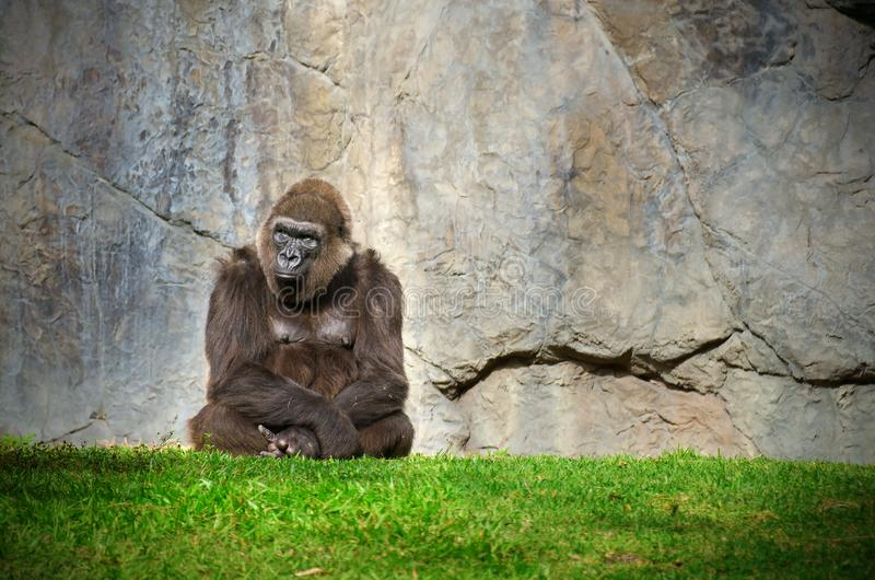 Kalm stoïstische grote mannelijke gorilla's die voor een stenen muur zit stock afbeeldingen