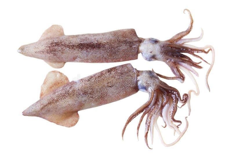 Kalmare stockfotos