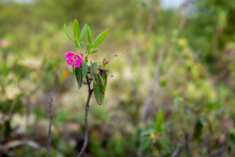 Kalmia angustifolia, Grands-Jardins National Park, Quebec. Close-up view of one of the last flower of the season on a Kalmia angustifolia in Les Grands-Jardins stock photography