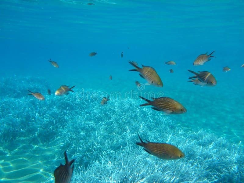 Kalogries sous-marins de la vie, damselfish ou Chromis méditerranéen en île Cyclades Grèce, mer Égée de Kythnos de baie de double photo stock