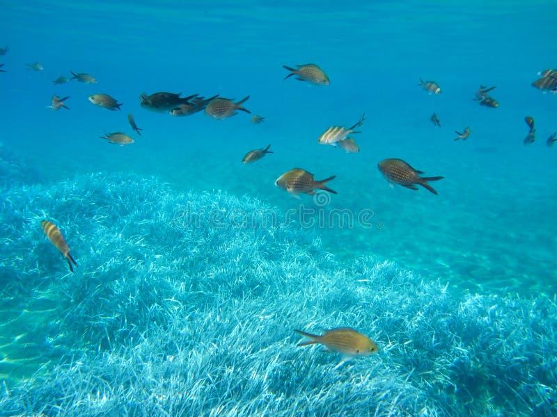Kalogries subaquáticos da vida, damselfish ou Chromis mediterrâneo na ilha Cyclades Grécia de Kythnos da baía do dobro de Kolona, fotografia de stock