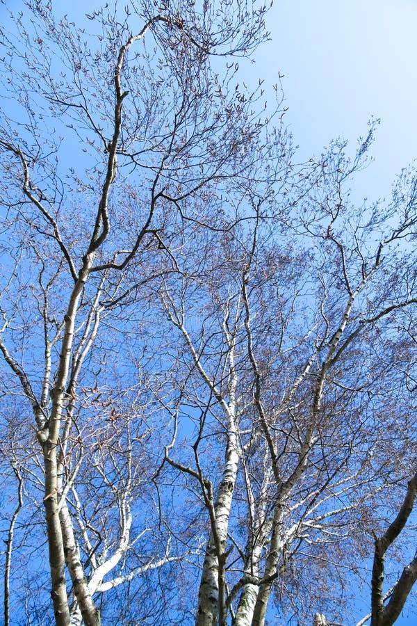 kalt björkträd i vinter arkivbild